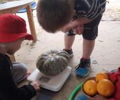 Weighing pumpkin